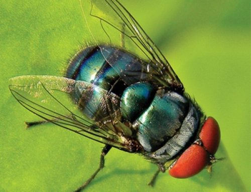 Blowfly Strike Alert: High Risk